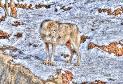 Photograph - A Wolf In Winter by Skye Ryan-Evans
