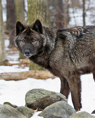 Photograph - A Wolf's Intense Focus by Gary Slawsky