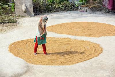 Ganges Photograph - A Woman Drying Her Rice Crop by Ashley Cooper
