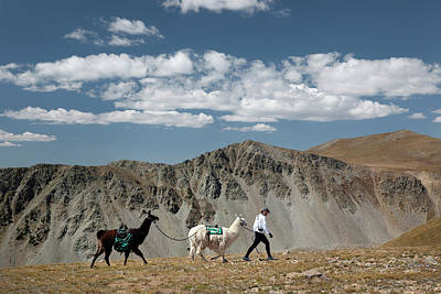 Llama Photograph - A Woman Walks With Two Llamas While by Ryan Heffernan