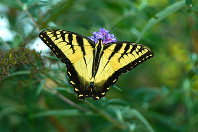 Photograph - A Yellow Butterfly by Raymond Salani III
