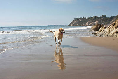 Of Santa Barbara Photograph - A Yellow Labrador Retriever Reflecting by Zandria Muench Beraldo