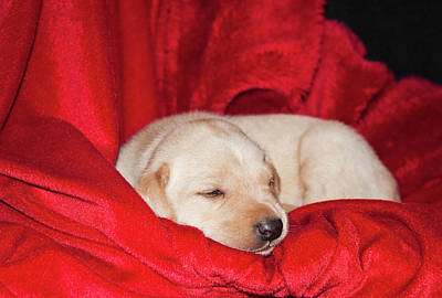 A Yellow Labrador Retriever Sleeping Art Print by Zandria Muench Beraldo