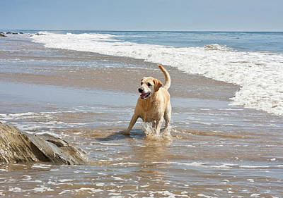 Of Santa Barbara Photograph - A Yellow Labrador Retriever Standing by Zandria Muench Beraldo