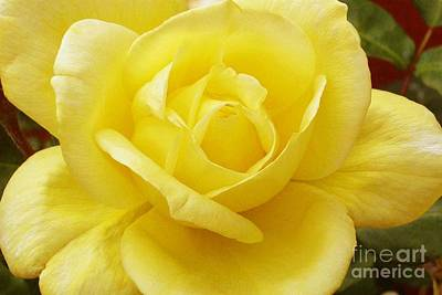Photograph - A Yellow Rose by Paul Clinkunbroomer