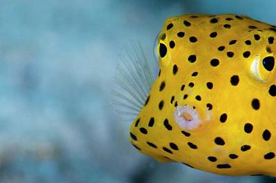 Polkadots Photograph - A Young Boxfish by Scubazoo
