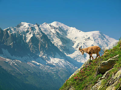 Tour Du Mont Blanc Wall Art - Photograph - A Young Ibex, Or Mountain Goat by Menno Boermans