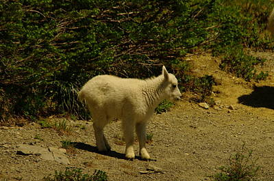 A Young Mountain Goat Art Print by Jeff Swan