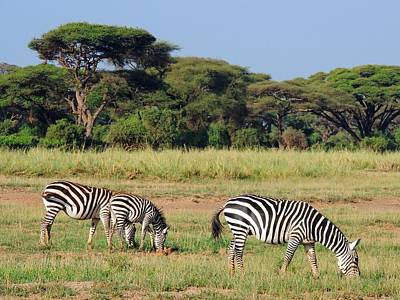 Of Zebra Grazing Photograph - A Zeal Of Zebras Grazing In Amboseli Park In Kenya by Nina Bowling