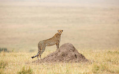 Photograph - Cheetah On The Savannah by June Jacobsen