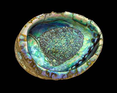 Abalones Photograph - Abalone Seashell by Jim Hughes