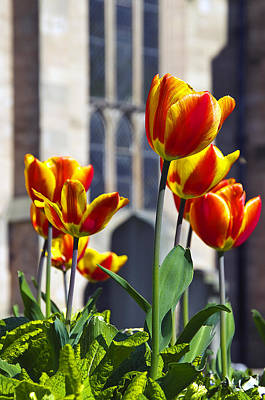 Photograph - Abbey Tulips by Ross G Strachan