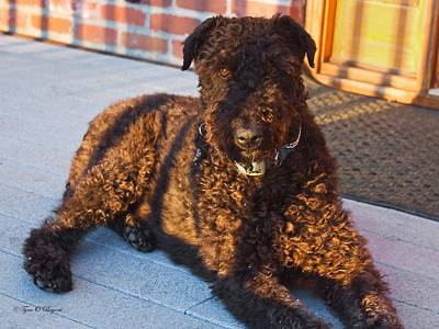 Photograph - Abby The Airedale  by Tyra  OBryant