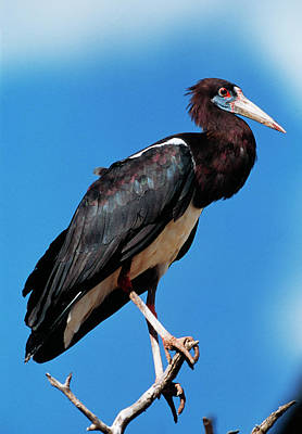Abdim's Stork Art Print
