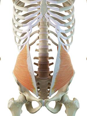 Oblique Photograph - Abdominal Muscle by Sciepro