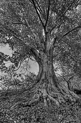 Photograph - Abernathy Beech Tree by Jerry Gammon