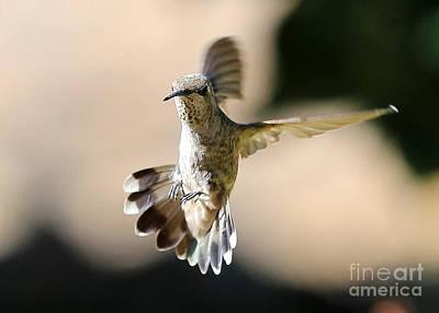 Photograph - About Face Hummingbird by Carol Groenen