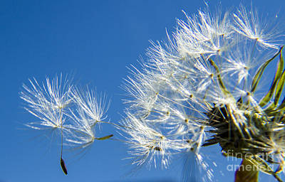 About To Leave - Dandelion Seeds Art Print