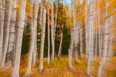 Photograph - Abstract Autumn Birches by Brenda Jacobs