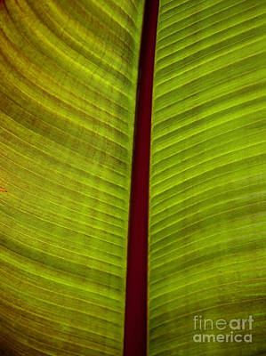 Photograph - Banana Leaf by David Millenheft