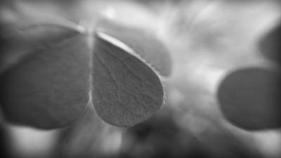Photograph - Abstract Close Up Of A Clover Leaf by Kelly Hazel