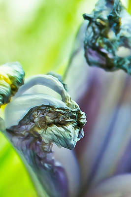 Photograph - Abstract Iris In Blue by Elvira Pinkhas