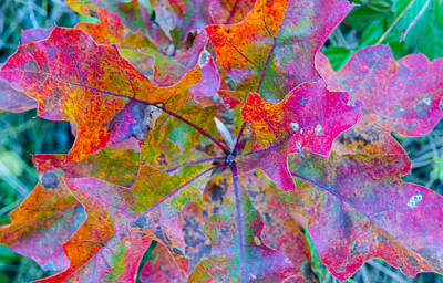 Photograph - Abstract Oak Leaves by Lynn Hansen