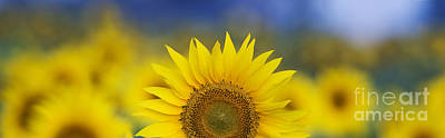 Abstract Sunflower Panoramic  Art Print by Tim Gainey