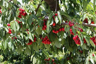 Photograph - Abundant Cherries by Carol Groenen