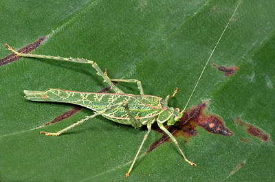 Katydid Photograph - Acacia Katydid by Nigel Downer