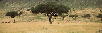 Wildlife Landscape Photograph - Acacia Trees On Hillside, Masai Mara by Panoramic Images