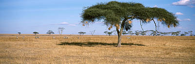 Bird Nest Photograph - Acacia Trees With Weaver Bird Nests by Panoramic Images