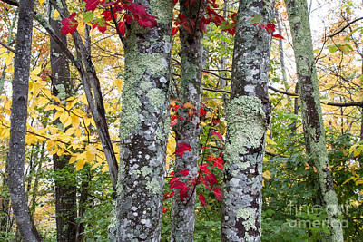 Photograph - Acadia Autumn Trees by Chris Scroggins