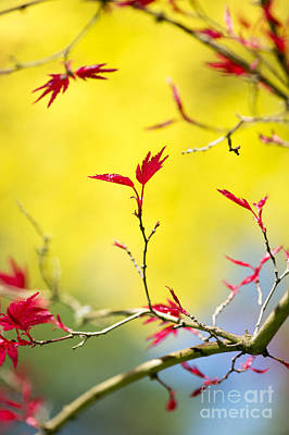 Japanese Maple Leaves Photograph - Acer Colour by Tim Gainey