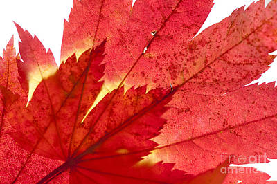 Acer From Beneath Art Print by Anne Gilbert