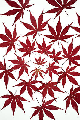 Acer Leaf Pattern Art Print by Tim Gainey