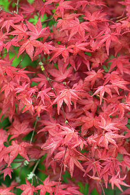 Acer Palmatum Photograph - Acer Palmatum 'shishio Improved' Leaves by Adrian Thomas