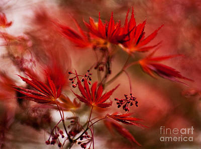 Red Maple Trees Photograph - Acer Storm by Mike Reid