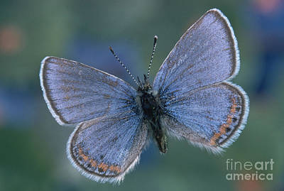 Photograph - Acmon Blue Butterfly Plebejus Acmon by Kjell B Sandved