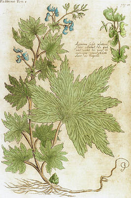 Seventeenth Century Photograph - Aconitum Seventeenth-century Engraving by Prisma Archivo