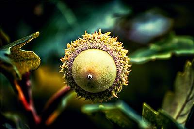 Photograph - Acorn Abstract by Beth Akerman