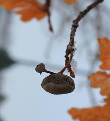 Photograph - Acorn Hat by Trent Mallett