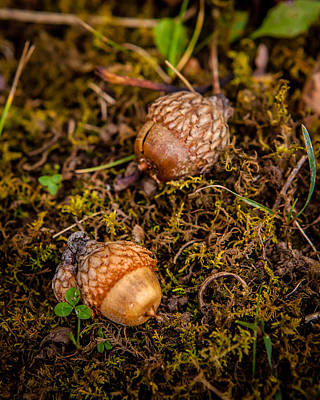 Photograph - Acorn Pair by Melinda Ledsome