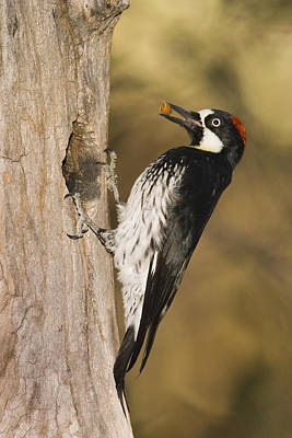 Acorn Woodpecker Bringing Food To Nest Art Print