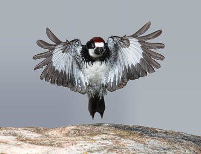 Photograph - Acorn Woodpecker Landing by Gregory Scott