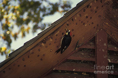Food Stores Photograph - Acorn Woodpecker by Ron Sanford