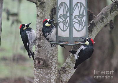 Photograph - Acorn Woodpeckers by Erica Hanel