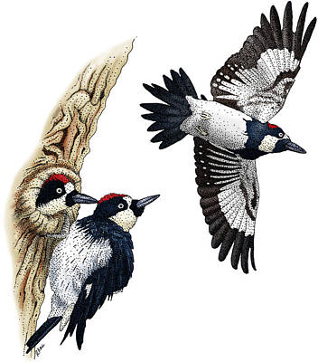 Photograph - Acorn Woodpeckers by Roger Hall
