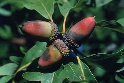 Photograph - Acorns by Harry Rogers