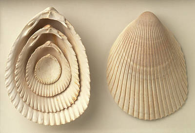 Acrosterigma Dalli Cockle Shells Art Print